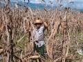 缅甸欲用玉米进入中国